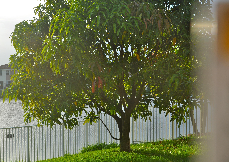 cambium florigon mango tree ap biology and the summer