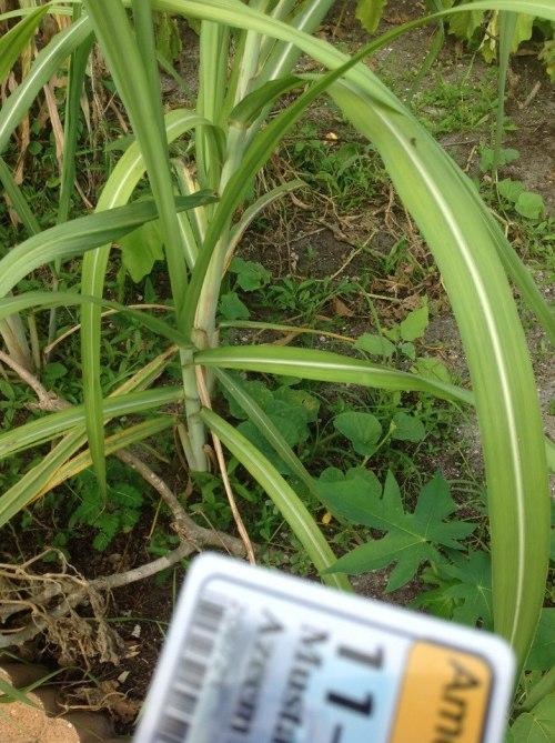 C4 Plant